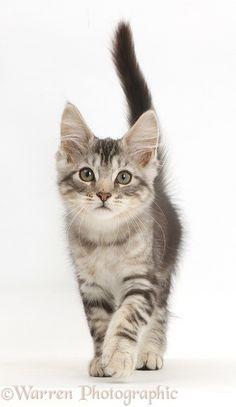 Silver tabby kitten, walking