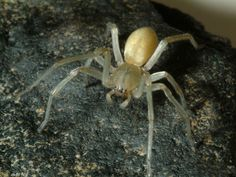 Yellow Sac Spider: In the Top 10 List of most dangerous spider we keep this in the 10th place. The beautiful Yellow sac spider is one of the least venomous in our list – but is still a seriously poisonous proposition. Yellow sac spiders are likely to make the drag line webs of the type you might get rid of with a broom or vacuum cleaner, but thankfully they rarely get near humans to bite. -