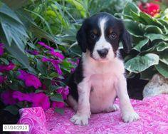 Missie - English Springer Spaniel Puppy for Sale in Ronks, PA - English Springer Spaniel - Puppy for Sale