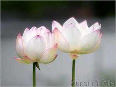 Shin Terada - Lotusblüten