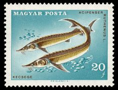 Latvian postage stamp, 2003. Depicting the Grayling, Thymallus thymallus, a species of freshwater fish in the salmon family (Salmonidae) of order Salmoniformes.