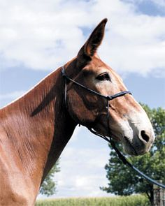 An example of hybrid sterility is basically the mule, which is a hybrid between a female horse and a male donkey.