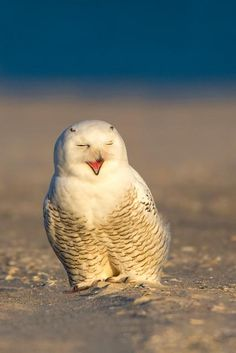 Snowy Owl.  Happy little bird!  (=)