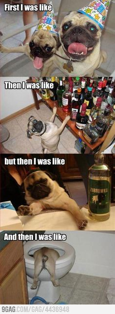 Poor partying pugs!