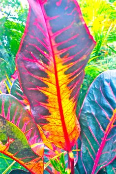(via ashes2dust) Croton leaf, used to grow these in Florida :)