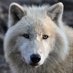 Arctic Wolf (006) by Sikaris on DeviantArt