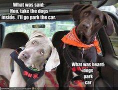 Dogs, park, car