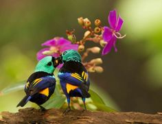 Foto pintor-verdadeiro (Tangara fastuosa) por Ester Ramirez   Wiki Aves - A Enciclopédia das Aves do Brasil