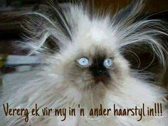 Even Animals Have A Bad Hair Day. Animals and birds usually have meticulous grooming habits, but these animals were caught on camera having a bad hair day. I Love Cats, Cute Cats, Funny Cats, Funny Animals, Cute Animals, Silly Cats, Funniest Animals, Cat Fun, Animal Funnies