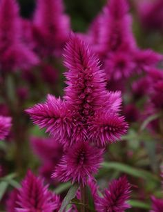 96 best celosia images on pinterest celosia flower beautiful a low maintenance plant with high appeal celosia intenz mightylinksfo