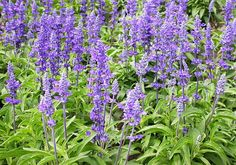 Shop for Salvia Seeds by the Packet or in Bulk.Com offers the Finest and Freshest Salvia Flower Seeds Anywhere. Salvia Divinorum, Salvia Officinalis, Fall Plants, Garden Plants, Herb Garden, Salvia Plants, Meadow Sage, Salvia Hispanica, Planting Bulbs