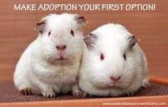 That's right! #guineapigs