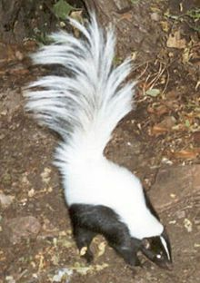 can be distinguished from the similar striped skunk by its longer tail and longer, much softer coat of fur, and larger tympanic bullae ranges from the Southwestern United States to southern Mexico, but is most abundant in Mexico  Skunkhooded.jpg