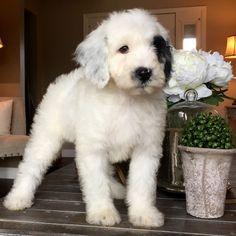 Micro Sheepadoodle puppy Feathers And Fleece - My Dogs - Chien Cute Puppies, Cute Dogs, Dogs And Puppies, Doggies, Cute Fluffy Dogs, Aussie Puppies, Animals And Pets, Baby Animals, Cute Animals