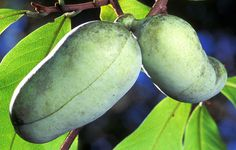 Health Benefits of the Paw Paw Fruit -   Tropical fruits provide some of the best nutrition and disease-fighting power of any foods http://althealthworks.com/1134/the-health-benefits-of-paw-paw-vitamins-minerals-and-possible-anti-cancer-effects/