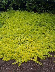 Creeping Jenny, a perennial ground cover that comes back every year and keeps out the weeds.Good for shady areas, or sun