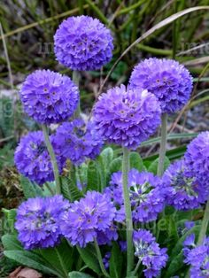 Full Sun - Primula denticulata Lilac Form Blue Flowers in Early Spring - planted 5/2014  First bloomed Late April 2015