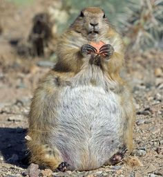 This porky prairie dog in Arizona looks in desperate need of a diet. It may have taken the idea of fattening up for winter just a tad too far.  Picture: Mark Newman / FLPA / Rex Features