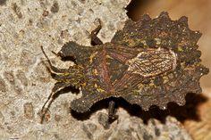 bark bug (Aradidae)      Found during a night hike in kanuku mountains