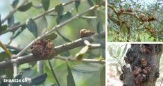 Καρκίνωση της Ελιάς: Πώς Προλαμβάνεται & Αντιμετωπίζεται αυτή η Ασθένεια! Ένας Αναλυτικός Οδηγός! Agriculture, Garden Landscaping, Boruto, Landscape, Fruit, Banana, Nature, Gardening, Jewelry
