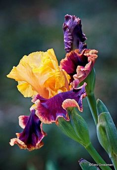 Greek mythology had it that, Iris is the goddess of the rainbow and the daughter of Thaumas and Electra. She was represented as messenger of Hera and Zeus. Ever since the ancient times, the royal flower of Iris symbolized power and ma Iris Flowers, Planting Flowers, Flowers Garden, Amazing Flowers, Beautiful Flowers, Beautiful Gorgeous, Bearded Iris, Plantation, Gerbera