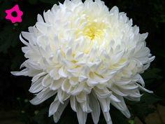 Crisantemo blanco. Flores blancas para boda.