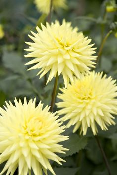 Dahlia 'Oakwood Goldcrest'. This semi-cactus dahlia is ideal for cutting. Find out more about this dahlia at: http://www.gardenersworld.com/plants/dahlia-oakwood-goldcrest/4211.html Photo by Sarah Cuttle.