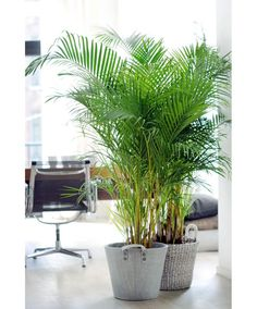 Areca Palm: loves indirect light from a window, humidifies, and is easy to care for.