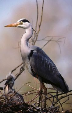Grey Heron © Lawrence G Baxter