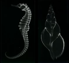 shell/sealife xrays from necromance, my favorite (victorian/botanical/taxidermy/edwardian/etc) tiny shop in LA..