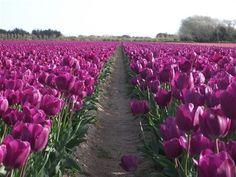 plantations de tulipes à La Torche (Finistère. France)