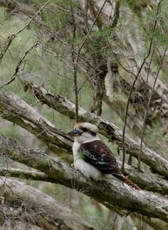 Kookaburra ... Bird Pictures, Birds Pics, Bee Eater, Australian Animals, Kingfisher, Bird Feathers, Beautiful Birds, Poppies, Cute Animals