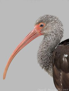 Juvenile White Ibis - As it matures, white feathers begin appearing on the back and it undergoes a gradual molt to obtain the white adult plumage by age two.