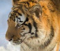 Tiger, Mammal, Animal Messages, Totems, spirit-animals.com