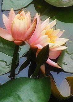 Water Lilies by Ursa Davis