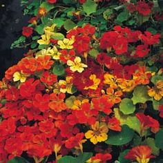 climbing nasturtiums - to plant behind the broad beans...love the colors