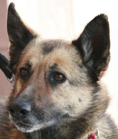 09/16/14 sl ~Faith - German Shepherd Dog mix - Born: 4/4/2004 - Halfway to Home Animal Rescue - Mojave, CA. - http://www.halfwaytohome.net/adoptable_pets.html - http://www.adoptapet.com/pet/10339701-palmdale-california-german-shepherd-dog-mix - https://www.petfinder.com/petdetail/28545621/