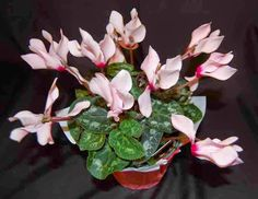 The Indoor Garden: How to Care for a Cyclamen