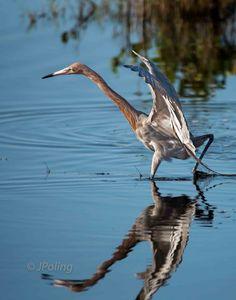 Reddish Egret, Viera Wetlands, Melbourne, Florida