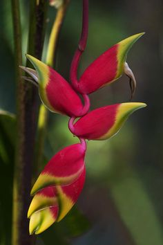 Carnival of color: 30 of the most incredible multi-colored flowers in the world-Hanging Lobster Claw Ginger Unique Flower Names, Unusual Flowers, Unusual Plants, Rare Flowers, Flowers Nature, Tropical Flowers, Tropical Plants, Amazing Flowers, Colorful Flowers