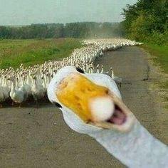 Todos quieren mi ganso