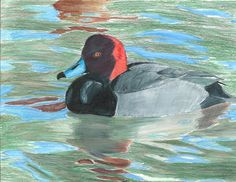 The 2013 Florida Junior Duck Stamp of Justin Love, honorable mention in Group 4, grades 10-12. DDWS photo