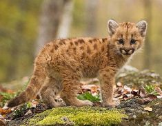 Low Survival Rate | 10 Remarkable Facts About Mountain Lions