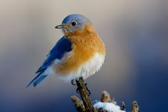 """""""Blue on Blue"""", Early morning shot of male eastern bluebird with snow in shadow in the background. By Birds & Blooms reader dalerobert, for our February Photo Challenge """"Think Spring"""""""