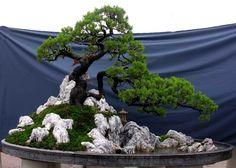 vietnamese bonsai trees. #bonsai