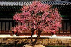Red plum blossoms in Tongdo-temple Yangsan, Korea  양산 통도사 홍매