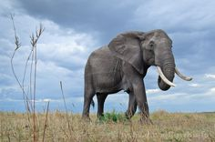 A legszebb állatkertek és vadasparkok a világon: Maasai Mara Nemzeti Park - Kenyai vadaspark