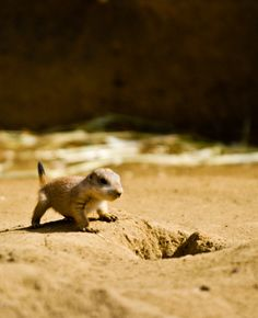 Baby Prairie Dog