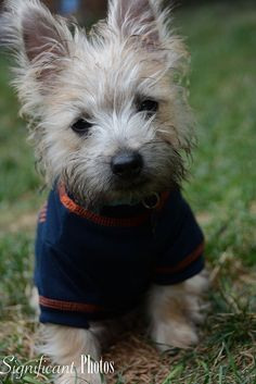 "Could Walter Payton catch a forward pass as cutely as this cute little Bears fan, Walter Stuart Mendez here? ""This is Walter Stuart Mendez, he is a 4 month old Cairn terrier. He is a Chicago …"