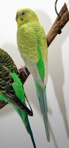 Full-Body Color Greywing light green American parakeet